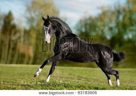 Black Akhal-teke Young Stallion Run Gallop