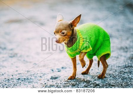Beautiful Tiny Chihuahua Dog Dressed Up In Outfit, Staying Outdo