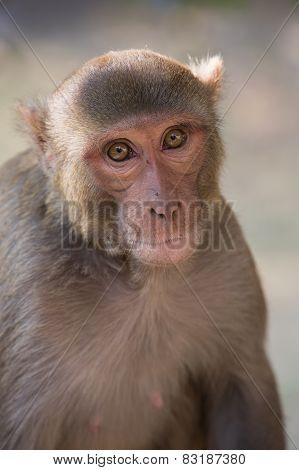 Rhesus Macaque Sitting At Tughlaqabad Fort, Delhi, India