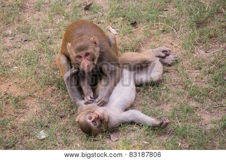 Rhesus Macaques Playing At Tughlaqabad Fort, Delhi, India