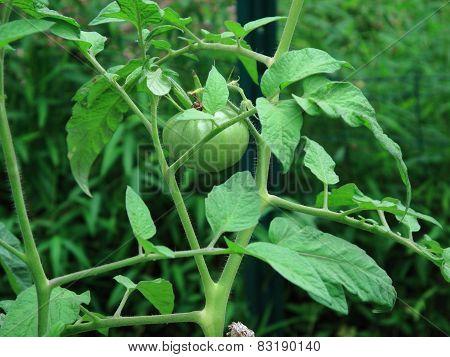 Green Tomato Plants