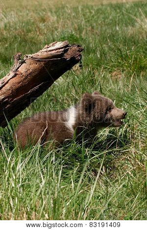 Grizzly Bear Cub Sitting In Green Grass