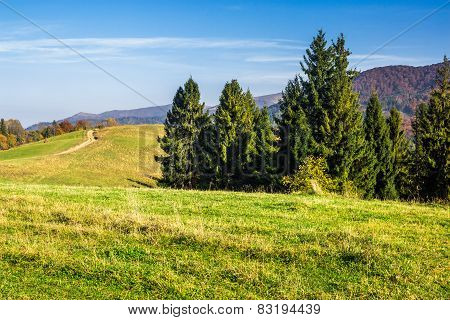 Coniferous Forest On A  Hillside