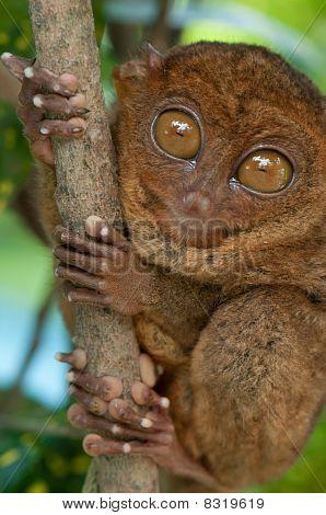 Tarsier Holding A Branch