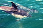 picture of dolphin  - Dolphin in ocean - JPG