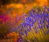 foto of lavender field  - Lavender in Provence - JPG