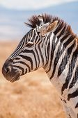picture of saharan  - A portrait of a Zebra in the Ngorongoro crater in Tanzania Africa - JPG