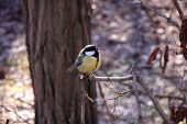 image of great tit  - Great tit on a branch of a tree in the park - JPG