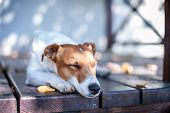 stock photo of jack russell terrier  - jack russel on autumn porch - JPG