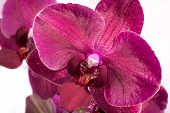 pic of monocots  - Up close view of the flower of an orchid.