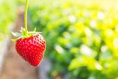 stock photo of strawberry plant  - Close up shot strawberry with planting strawberry background - JPG