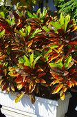 pic of crotons  - Croton Plants have variegated leaves of varying shades of green - JPG