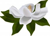 stock photo of magnolia  - illustration with magnolia flower isolated on white background - JPG