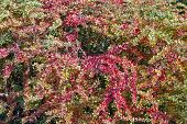 picture of barberry  - Red and yellow autumn leaves of an barberry bush background
