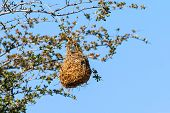 picture of bird-nest  - Nest weaver bird on branch of tree Namibia Africa - JPG