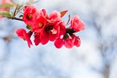 picture of apple blossom  - Apple flowers - JPG
