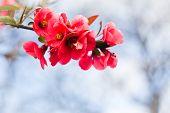 stock photo of apple blossom  - Apple flowers - JPG