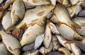 image of fish pond  - Harvesting of fish in the pond waiting to be loaded - JPG