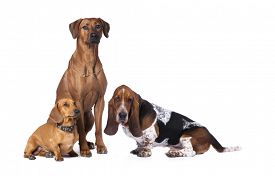pic of tariff  -  group of dogs - JPG