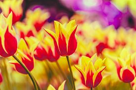 pic of yellow buds  - Yellow And Red Flowers Tulips In Spring Garden Flower Bed - JPG