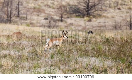 Pronghorn Antelope in field