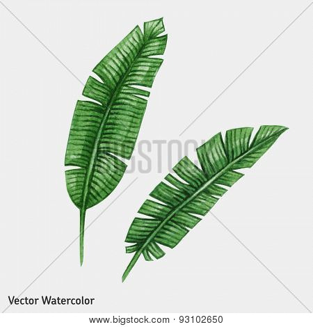 Watercolor tropical banana palm leaves. Vector illustration.