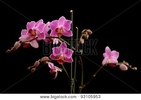 Sprays Of Deep Pink Phalaenopsis Orchids