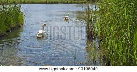 Swans and cygnets swimming in a lake in spring