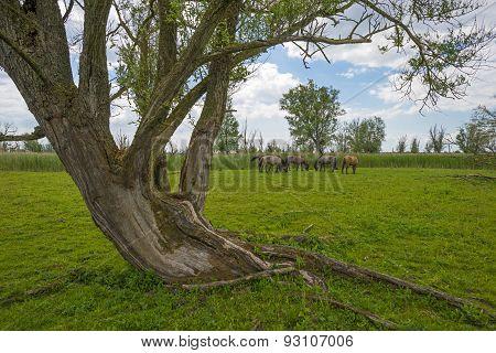 Herd of konik horses in nature in spring