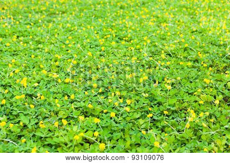 Green Clover And Yellow Blossom Background