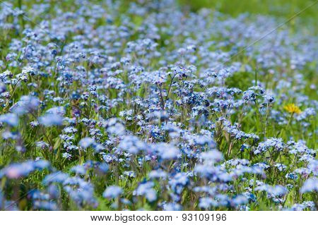 Blossom Forget-me-not Flowers Field Summertime Background