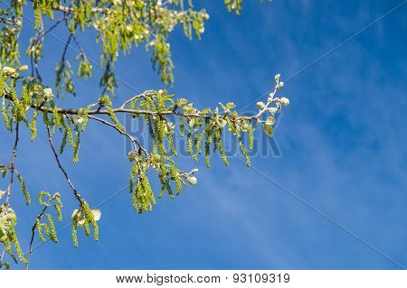Springtime Tree Branch With Bloom Catkins Against Blue Sky