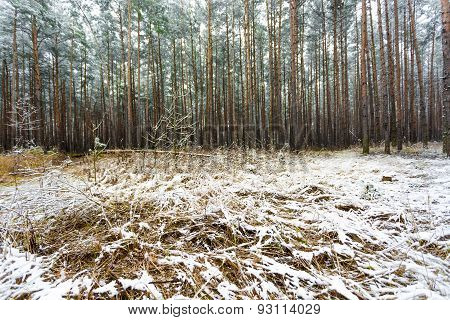 Pine Forest Covered By Melting Snow At Spring Day