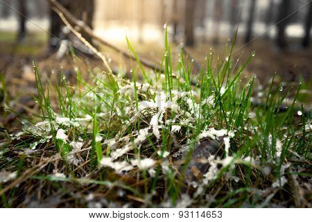 Macro Shot Of Fresh Grass Covered By Show At Sunny Day In Forest