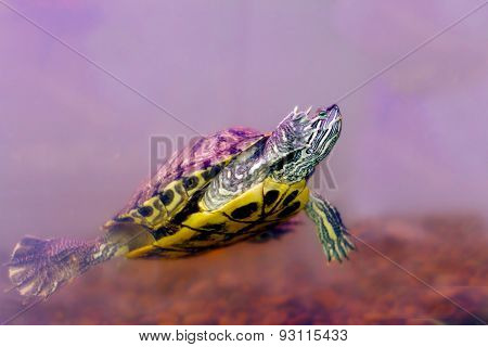 Snag Amphibians Turtle Underwater
