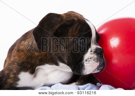 Boxer next to a ball