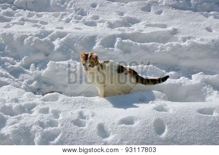 Tricolor kitten on snow