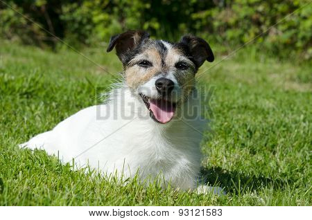 Smiling Jack Russell Terrier