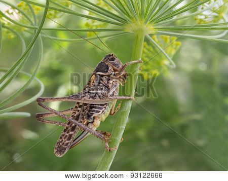 grasshopper sitting on a flowered dill