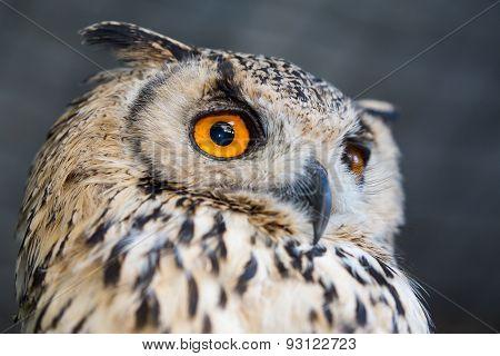Korean Eagle Owl