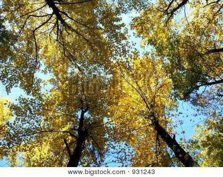 Falltrees_Lookingup