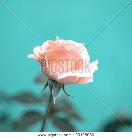 Beautiful Romantic Pink Rose Flower On Toned Green Blur Background, Vintage Style, Closeup