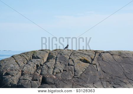 Singing magpie on rock
