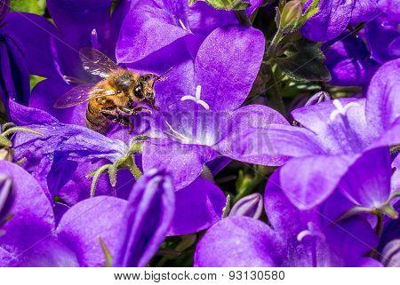 Precious bee entering purple wildflower.