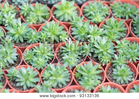 Arrangement Miniature Green Succulent Plants