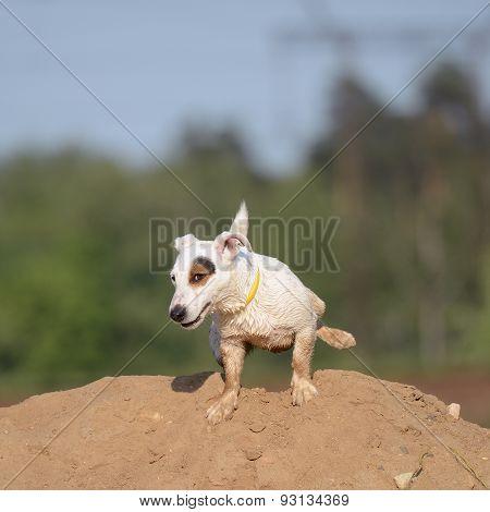 Jack Russel Terrier Dog Pees.