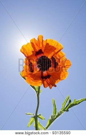 Happy Orange Poppy Flower with Sunshine