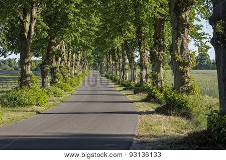 Picturesque lime tree alley in East Germany