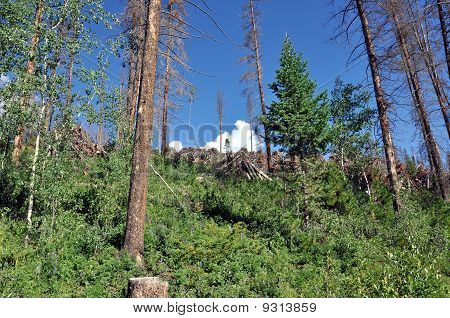 Colorado Pine Beetle Infestation