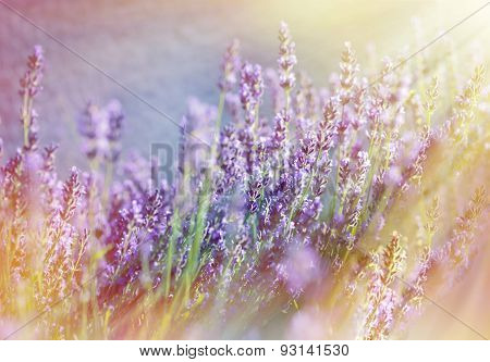 Lavender flowers illuminated with sunbeams
